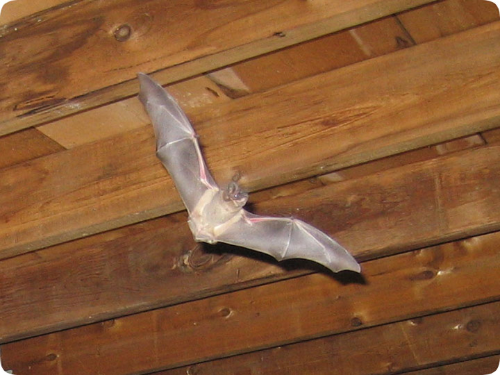 how do i get bats out of an attic