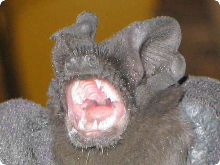 Do Bats Carry Rabies