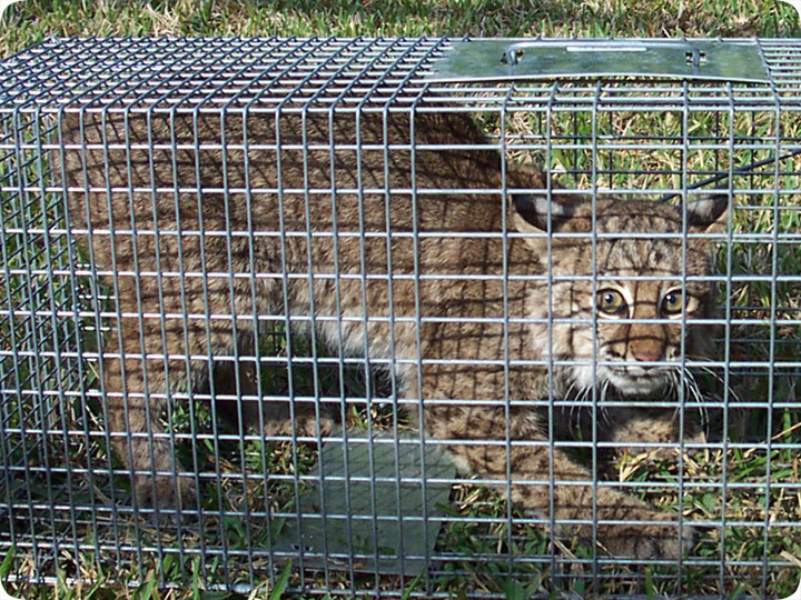 Bobcat Trapping, Control & Removal