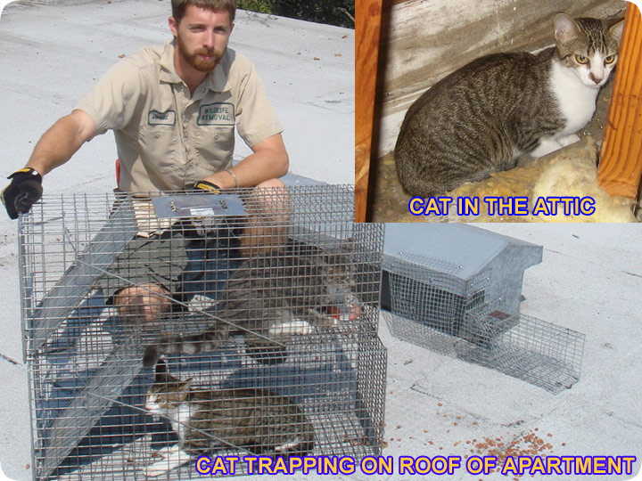 Remove Cats In The Attic How To Get Cats Out