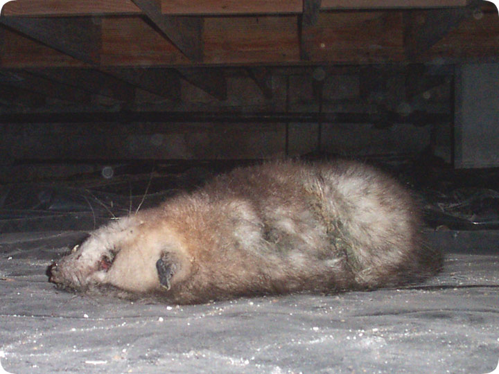 Dead Animal Under House Bad Smell Removal