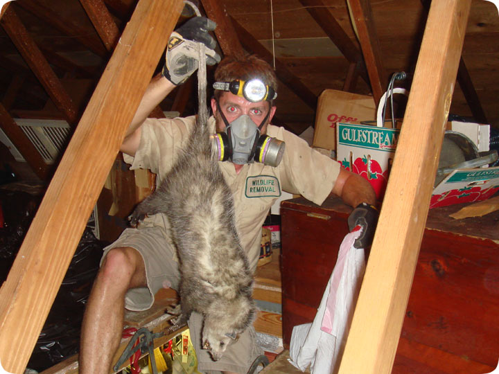 Dead Opossum Below Attic Floorboards : attic floor boards  - Aeropaca.Org