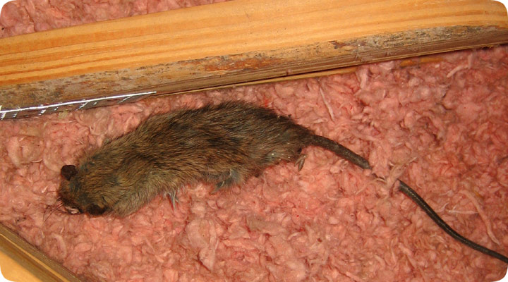 Dead Mouse In Attic Rotting Mouse
