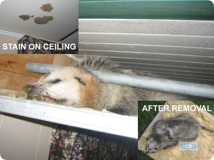 Dead Opossum In The Ceiling Removal