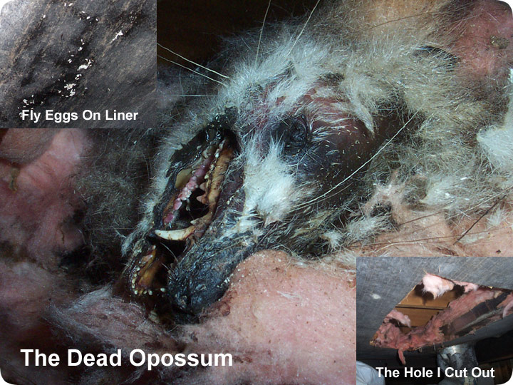 how to get rid of dead possum smell in house