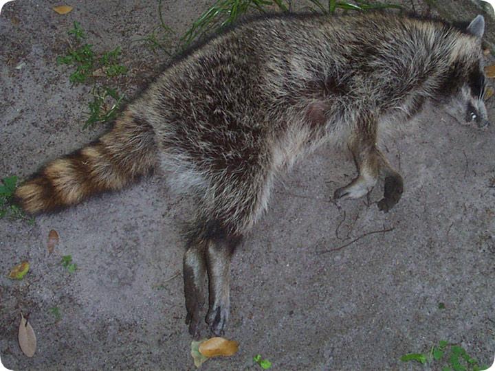 Dead Raccoon Carcass Removal
