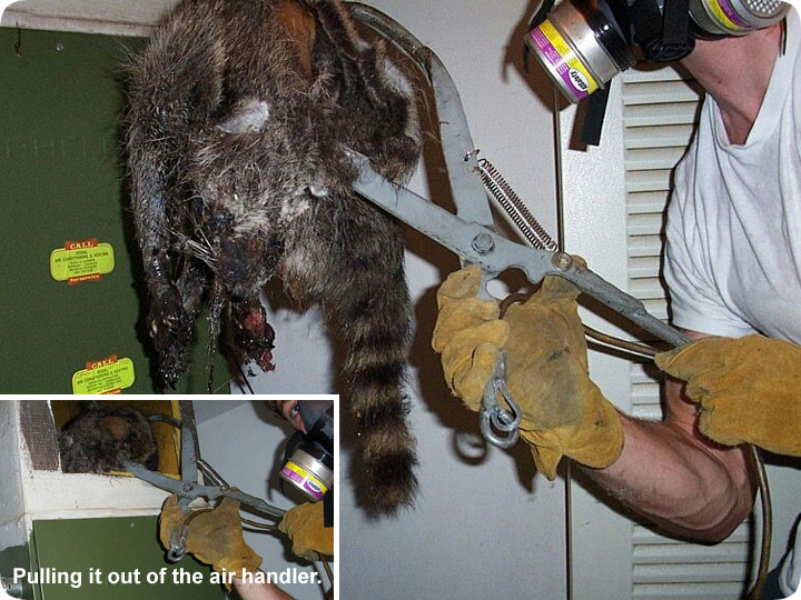 Dead Raccoon In The House Terrible Smell