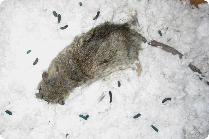 Dead Rat As A Result Of Poison Dead Mouse
