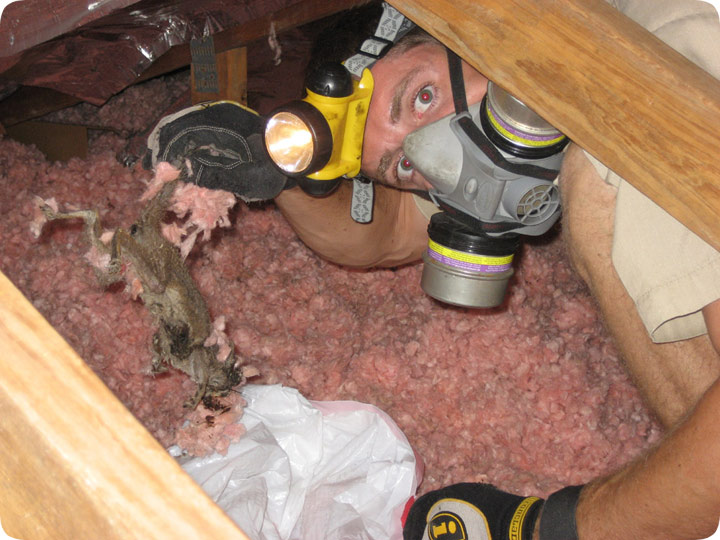 Dead Squirrel In The Attic Removal Of Rodent