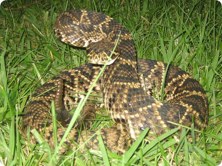 eastern diamondback snake