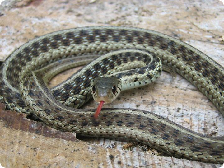 Eastern Garter Snake , Not Garden Snake