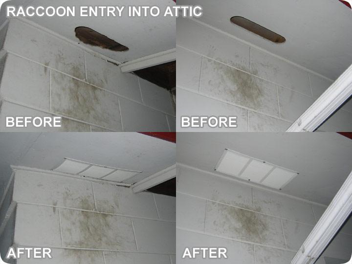 Raccoon Holes Leading Into Attic