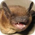 Bat Control Blog Removal Of Bats Mammals Animals Critter
