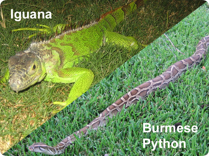 Florida exotic species iguana burmese python