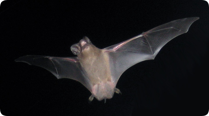 Photo Of A Bat In Flight