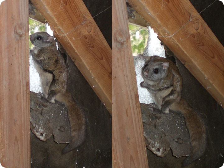 Get Rid Of Flying Squirrels Removal