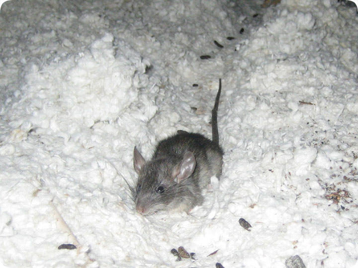 Mouse In Attic Trapping Removal Solve Mouse Problem