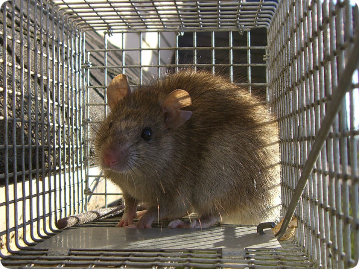 Norway Rat Control Trapping