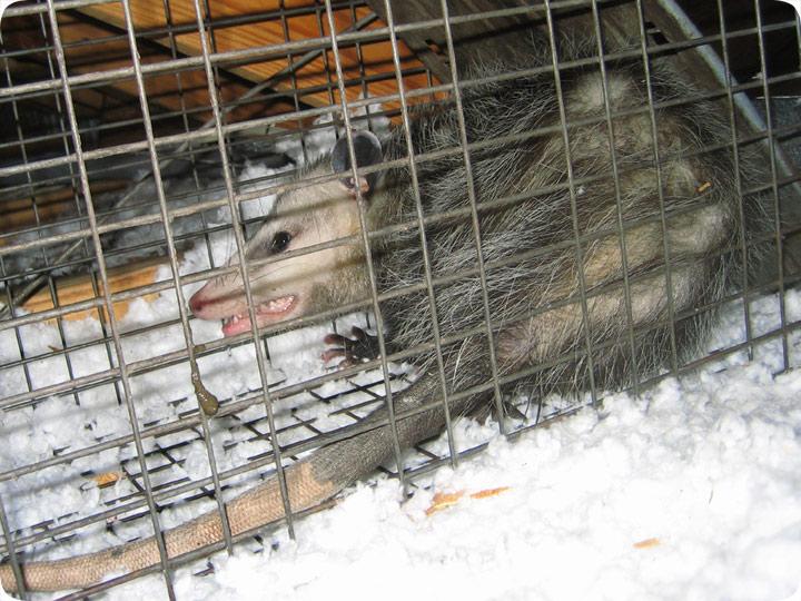 Possum In A Cage In An Attic Remove Possum