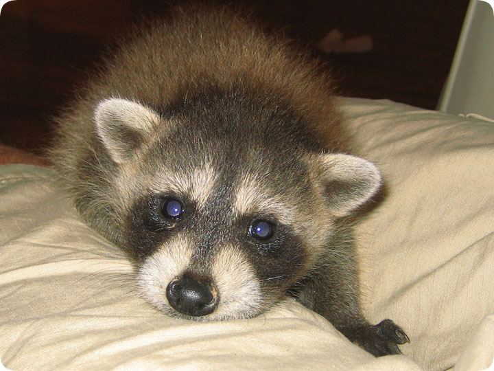 Pet Raccoon - Where to find a pet raccoon breeder Raccoons As Pets