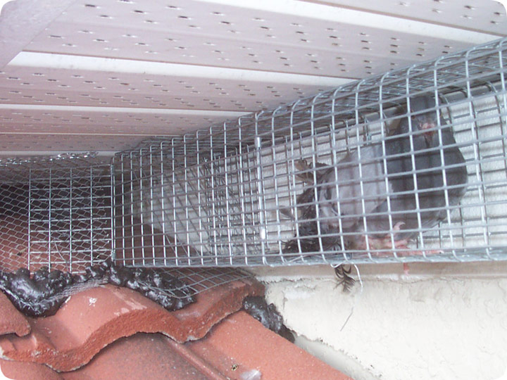 Pigeon Trap Get Pigeons Out Of A House