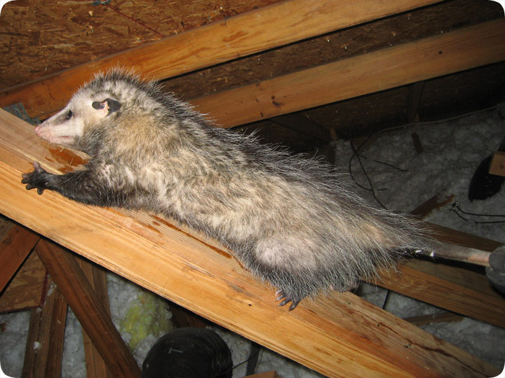 Tug O War With A Possum In The Attic
