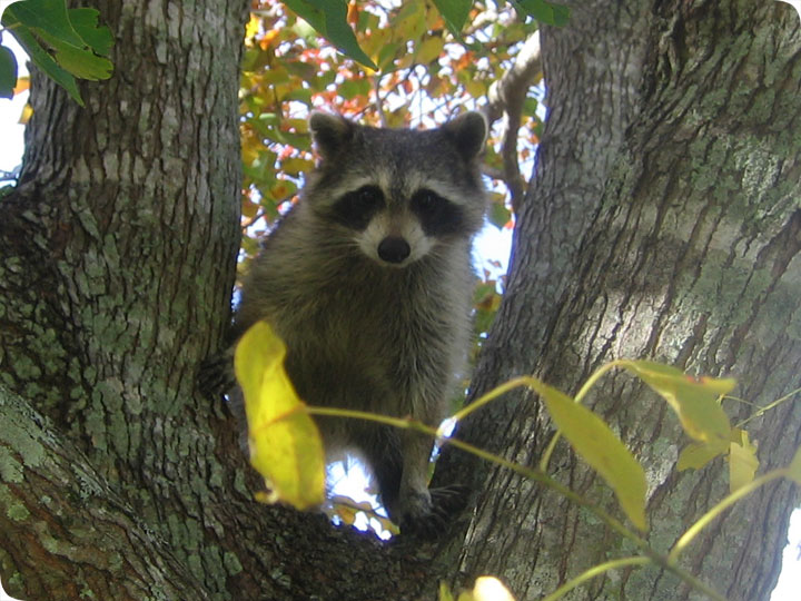 If I see a raccoon out during the day, does it have rabies ... Raccoon With Rabies
