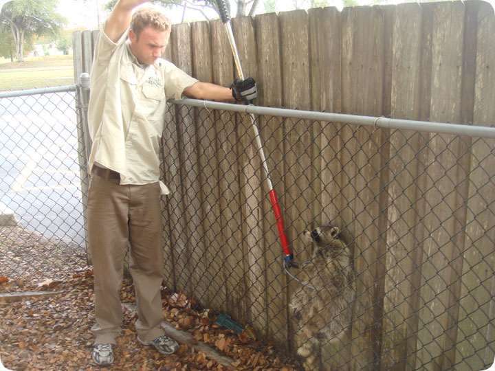 Image of: Trapped Aaanimal Control Raccoon Snare Snaring An Animal