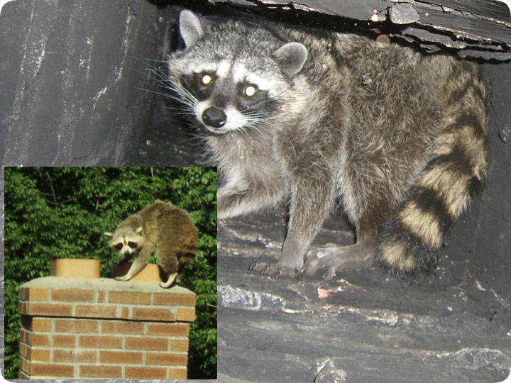 Raccoons In Chimney How To Get Them Out