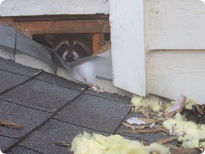 Raccoon Damage Wall Torn Out At Apartment