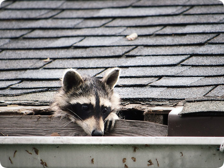 How Are Raccoons Getting Into My House Entry Hole In Roof