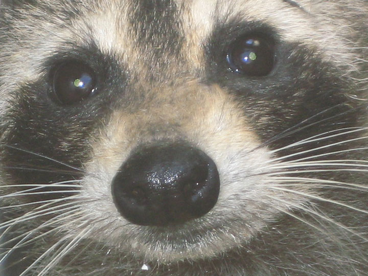 Raccoon Face Photograph Raccoon Face