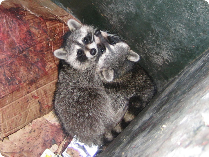 Raccoons In Garbage Can