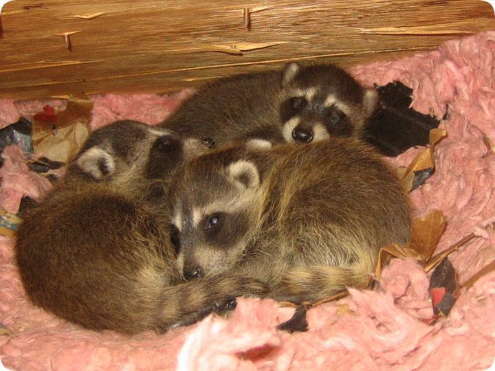 Raccoon Nest In Attic Baby Coons