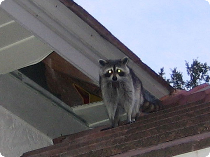 Raccoon In The Soffit Or Eave