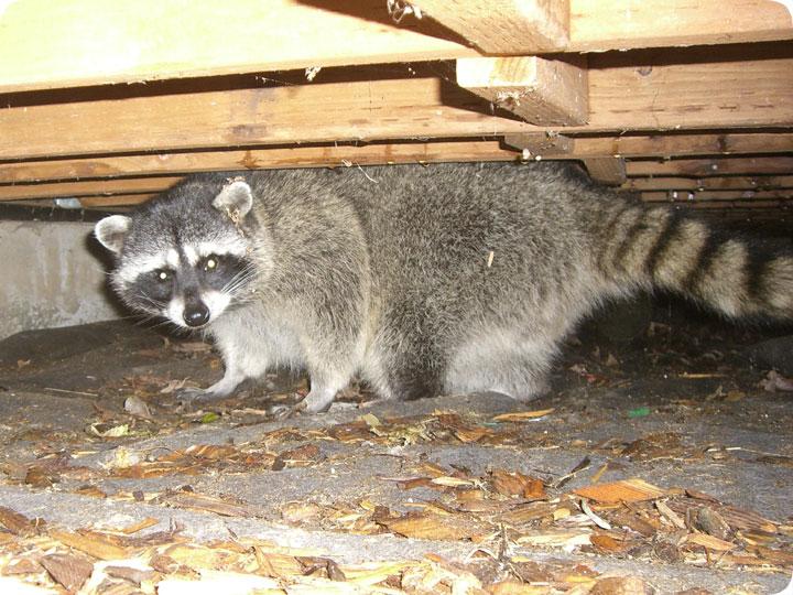 Raccoon Under House