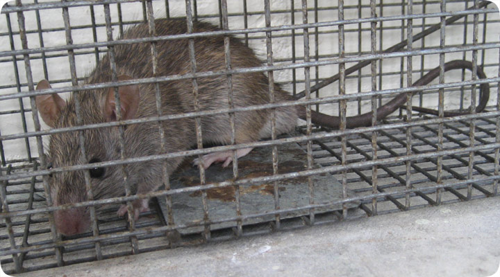 how to trap a rat in a cage. Black Bedroom Furniture Sets. Home Design Ideas