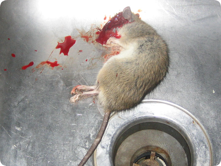 Killing Mice With Dogs In The House
