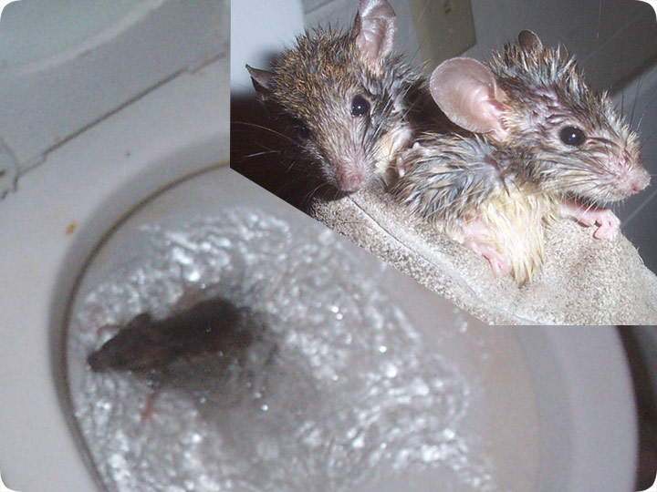 Rat In The Toilet Removal