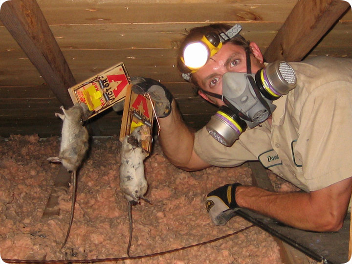 Rodent In The Attic How To Get Rodents Out Of Attic