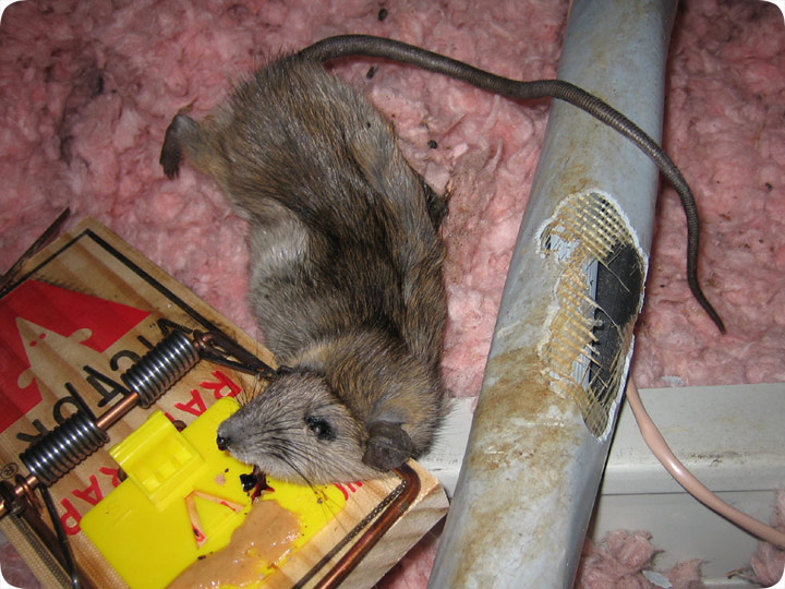 Rodents Chew On Electrical Wires In The Attic