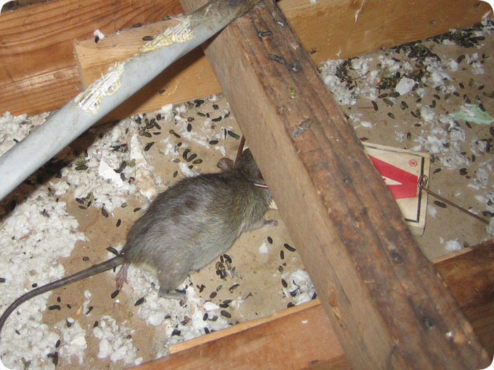 How To Prevent Rodent Damage In An Attic