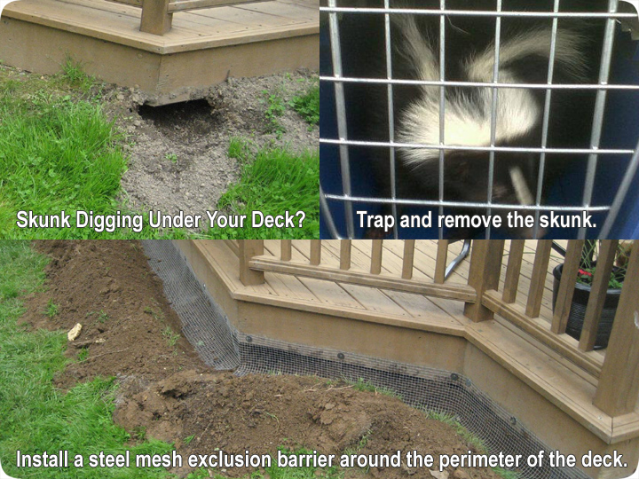 Skunks Digging Under A Deck Or Porch How To Trap Remove