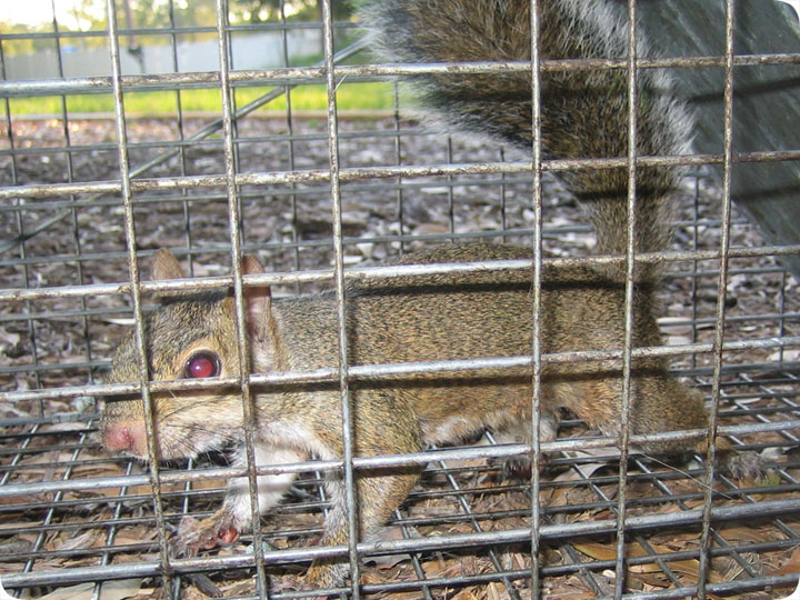 Squirrel Cage Trapped In A Cage Trap