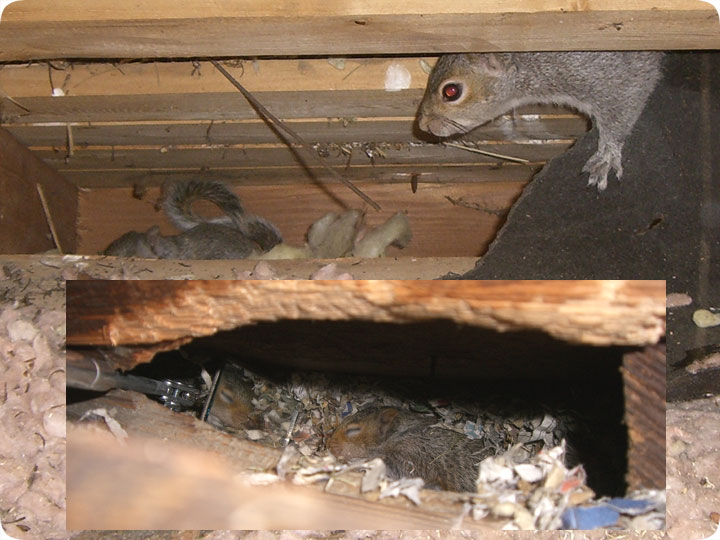 Squirrel Nest In Attic Or House