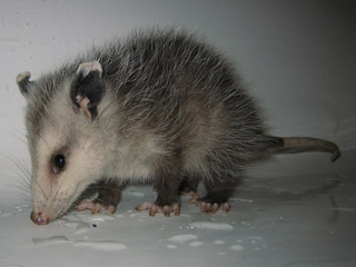 Cute Baby Opossum Photos - Possum Photographs Pictures & Oppossum ...