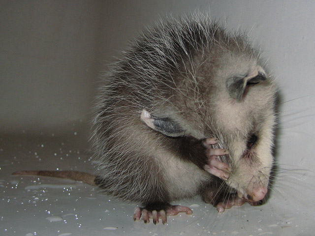 Barley, A Possum's Own Story: Gail Diederich, Lea Cute baby possum pictures