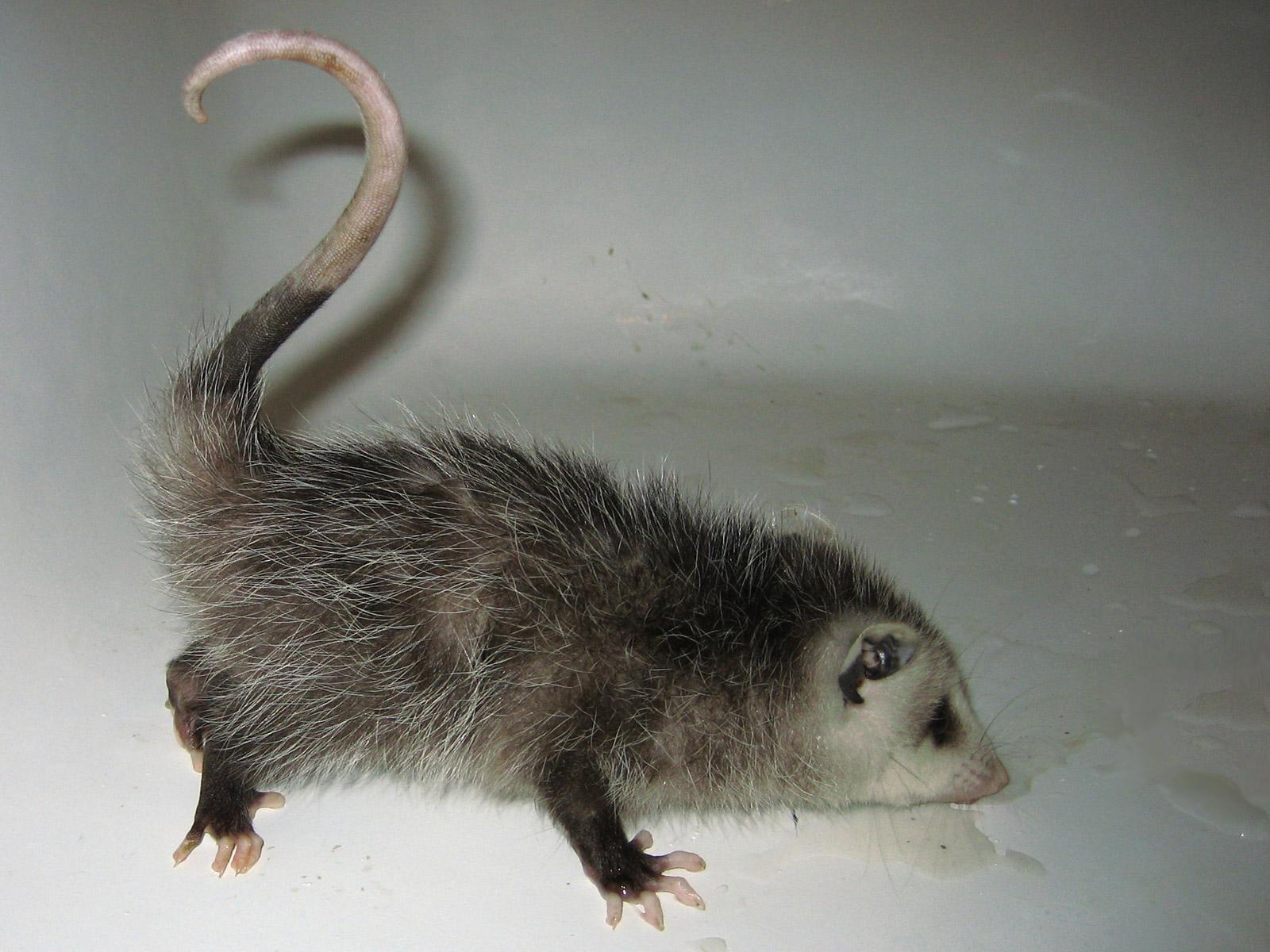 Cute Baby Possums
