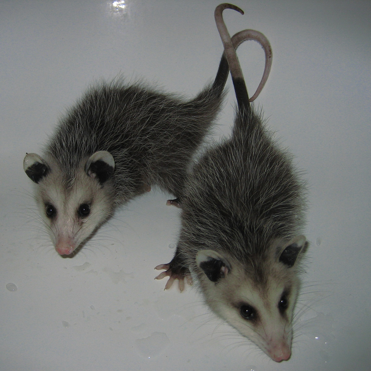 Cute baby possum pictures