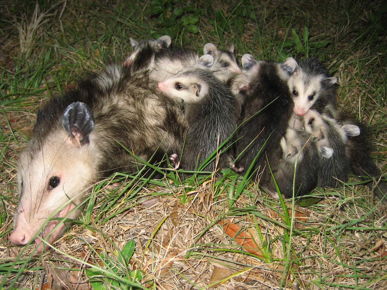 Cute Baby Opossum Photos Possum Photographs Pictures